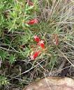 native cranberry