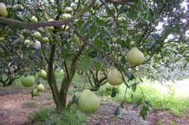 Image result for pomelo tree