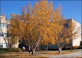Image result for river birch