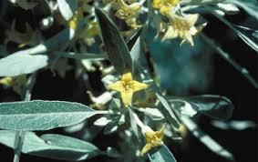 Elaeagnus angustifolia - Wikipedia
