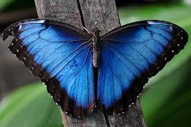 Risultati immagini per falena blu