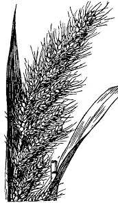 Echinochloa crus-pavonis - Wikipedia