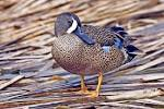 Images & Illustrations of blue-winged teal
