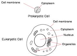 Image result for prokaryotic cell vs eukaryotic cell venn diagram