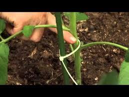 Подвязка томатов / способ подвязки томатов - YouTube