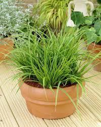 carex morrowii variegata best office plants no sunlight