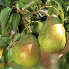 Image result for doyenne du comice pear