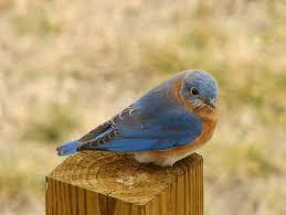 <b>Bluebird</b> - Wikipedia