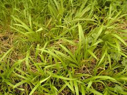 Carex strigosa - Thin-spiked Wood-sedge -- Discover Life mobile