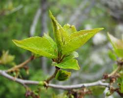 Prunus brigantina - Wikipedia