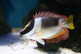 Image result for foxface fish images
