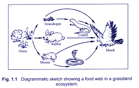 food webs  useful notes on food webs  with diagram diagrammatic sketch showing a food web in a grassland ecosystem
