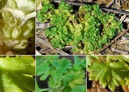 Aphanes arvensis L. - Sistema informativo sulla flora vascolare dei ...