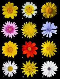 Asteraceae - Wikipedia