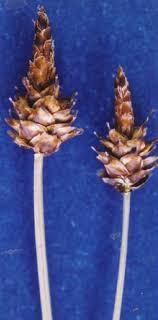 Carex capitata - Wikipedia