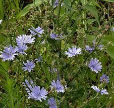 Cichorium intybus - Online Virtual Flora of Wisconsin