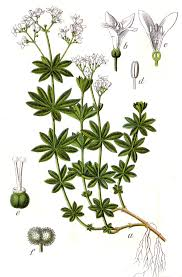 Galium - Wikipedia