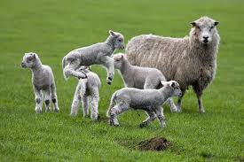 Image result for lambs gambolling