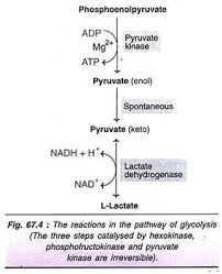 metabolism of carbohydrates   cycles  with diagram reactions in the pathway of glycolysis