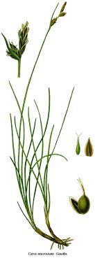 Carex mucronata — Wikipédia