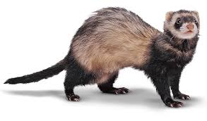 Image result for Ferret