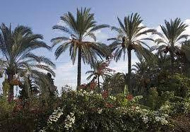 DATE PALM IN CHRISTIANITY  TRADITIONS AND LEGENDS Ancientfoods   WordPress com