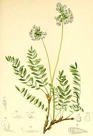 Oxytropis lapponica - Wikipedia, la enciclopedia libre