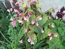 Images correspondant begonia vivace