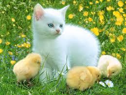 صور قطط جد جميلة images?q=tbn:ANd9GcR