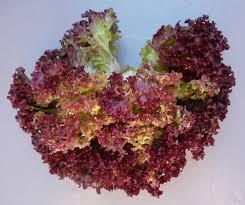 Bildergebnis für Salatkopf im Beet