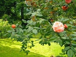 Resultado de imagen de Jardin con rosales