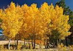 Images & Illustrations of quaking aspen