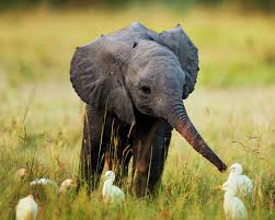 Image result for Lonely Elephant Free Images