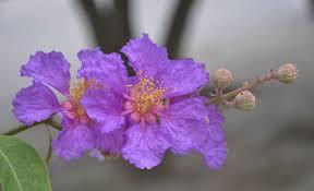 Hình nền bông hoa bằng lăng tím tuyệt đẹp một loài hoa được coi là tình yêu thủy trung rất dễ thương và lãng mạn. Hoa bằng lăng nở thành chùm vào mùa hè, ... - 14530hinh-nen-bong-hoa-bang-lang-tim-tuyet-dep