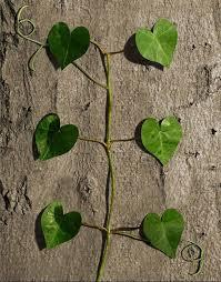 la nature a du coeur (jeu) - Page 3 Images?q=tbn:ANd9GcRwB-soyVGR98Vdg6X0KFScSb9Dw5Xf5DdWBA9FI32xGoBLuSDyvA