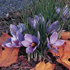Crocus sativus: Saffron Crocus | White Flower Farm