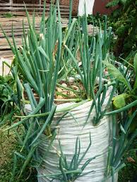 silagra price in save your time and money growing green onions in a sack