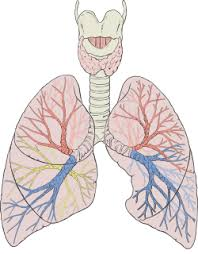 lung   wikipedialungs diagram detailed svg