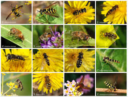Image result for nz hoverfly