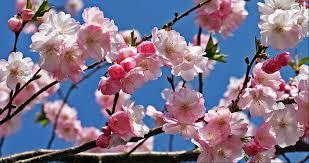 Afbeeldingsresultaat voor lente prunus