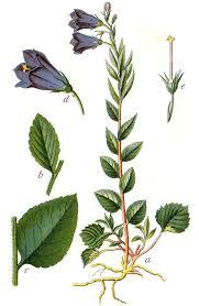 Campanula rhomboidalis - Wikispecies