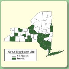 Secale - Genus Page - NYFA: New York Flora Atlas - NYFA: New ...