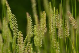 Cynosurus cristatus – Crested Dogstail | Other Grasses | Species ...