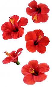 ᐈ <b>Цветы каркаде</b> фото, фотографии <b>каркаде</b> | скачать на ...