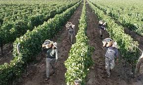 Los trabajadores golondrina y la red de explotación agraria