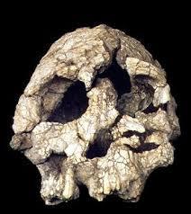 Resultado de imagem para Kenyanthropus