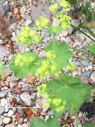 Alchemilla gracilis · iNaturalist.org