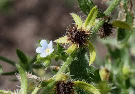 Lappula squarrosa - Michigan Flora