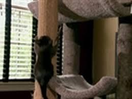 <b>Burmese Kittens</b> Practice Climbing | Too Cute - YouTube