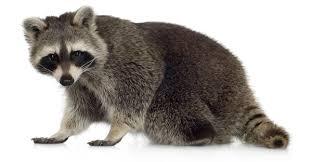 Résultats de recherche d'images pour «raton laveur PHOTO»